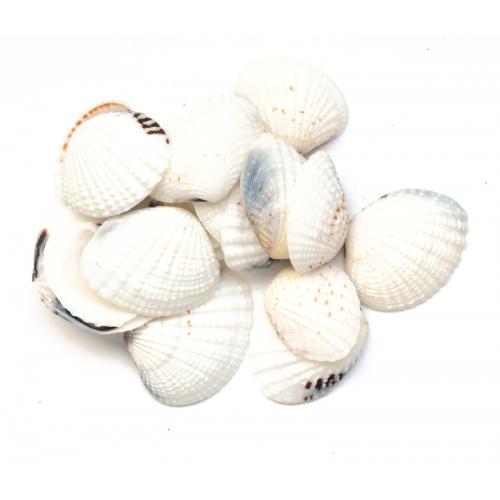 Ракушка натуральная морская светлая фото
